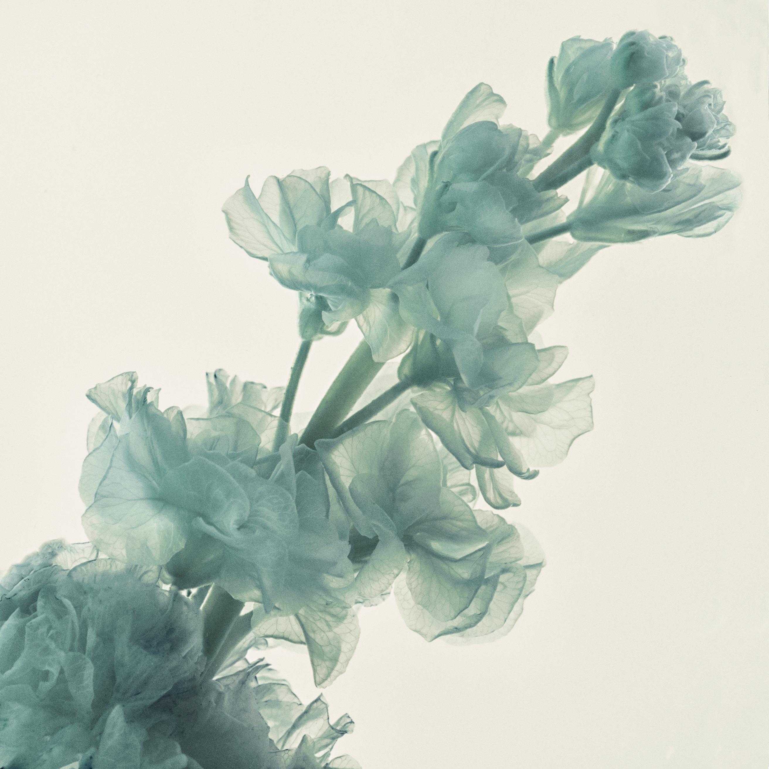 photographie d'une fleur de giroflée