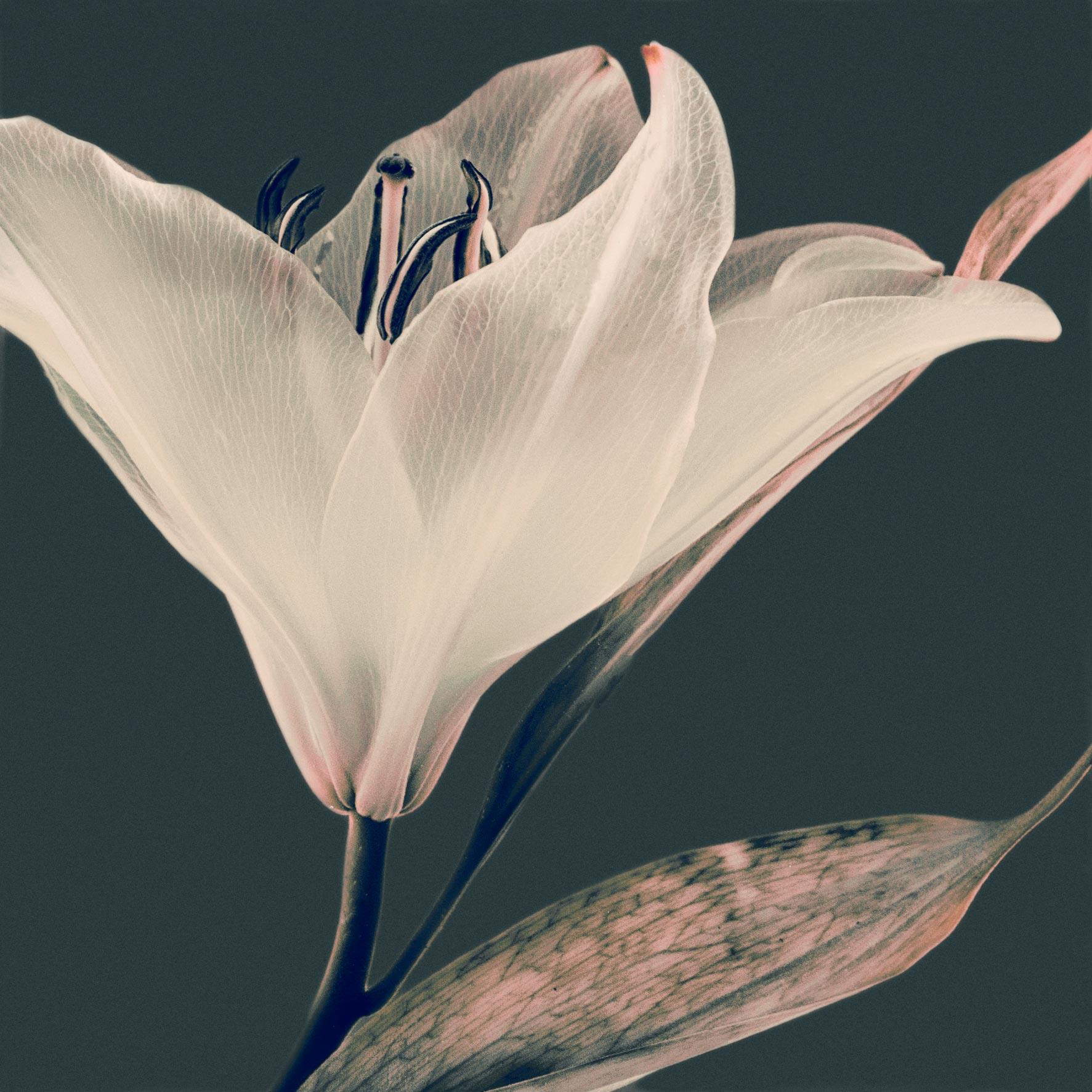 photographie d'une fleur de lys en transparence