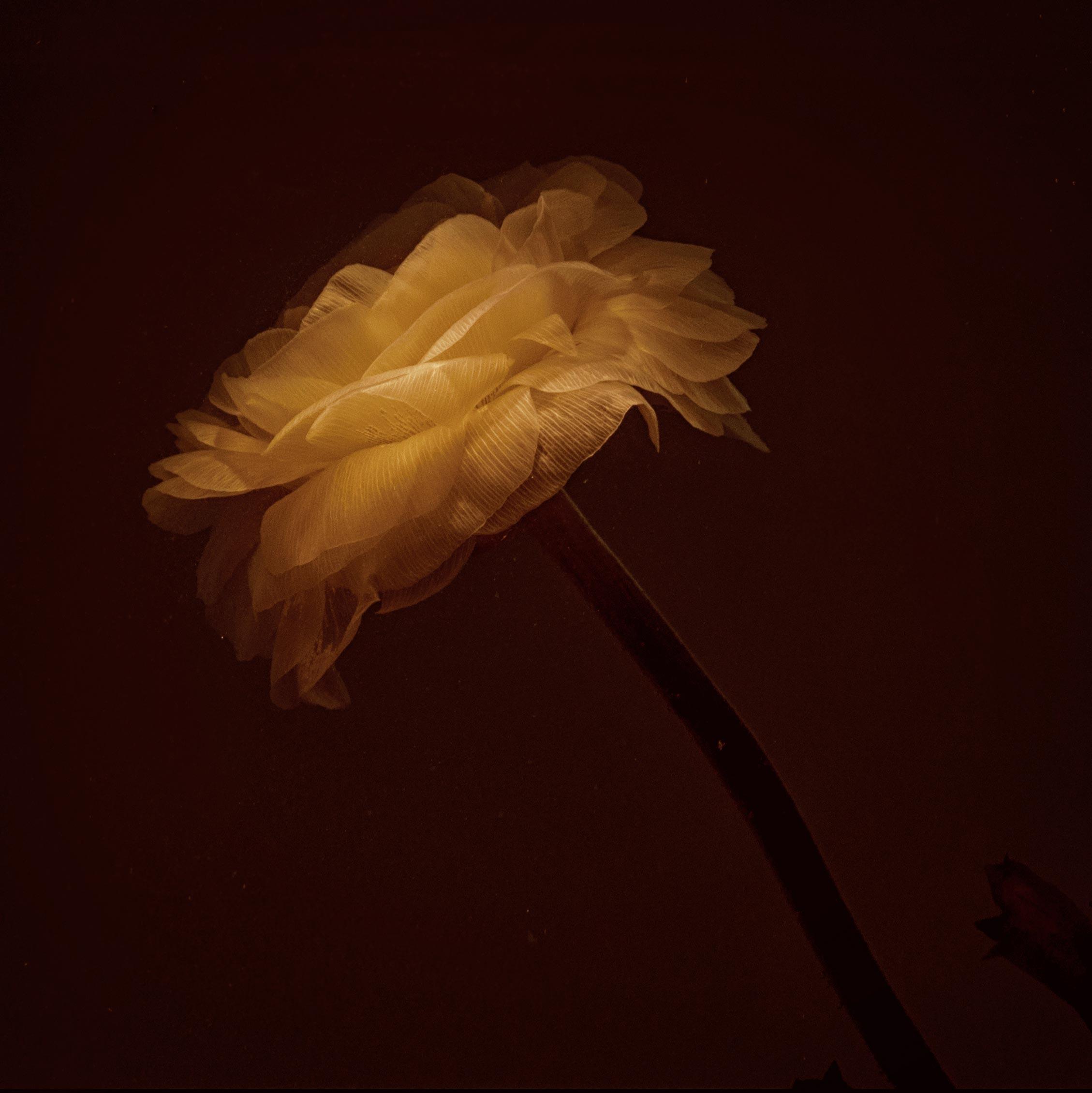 photographie d'une renoncule en clair obscur