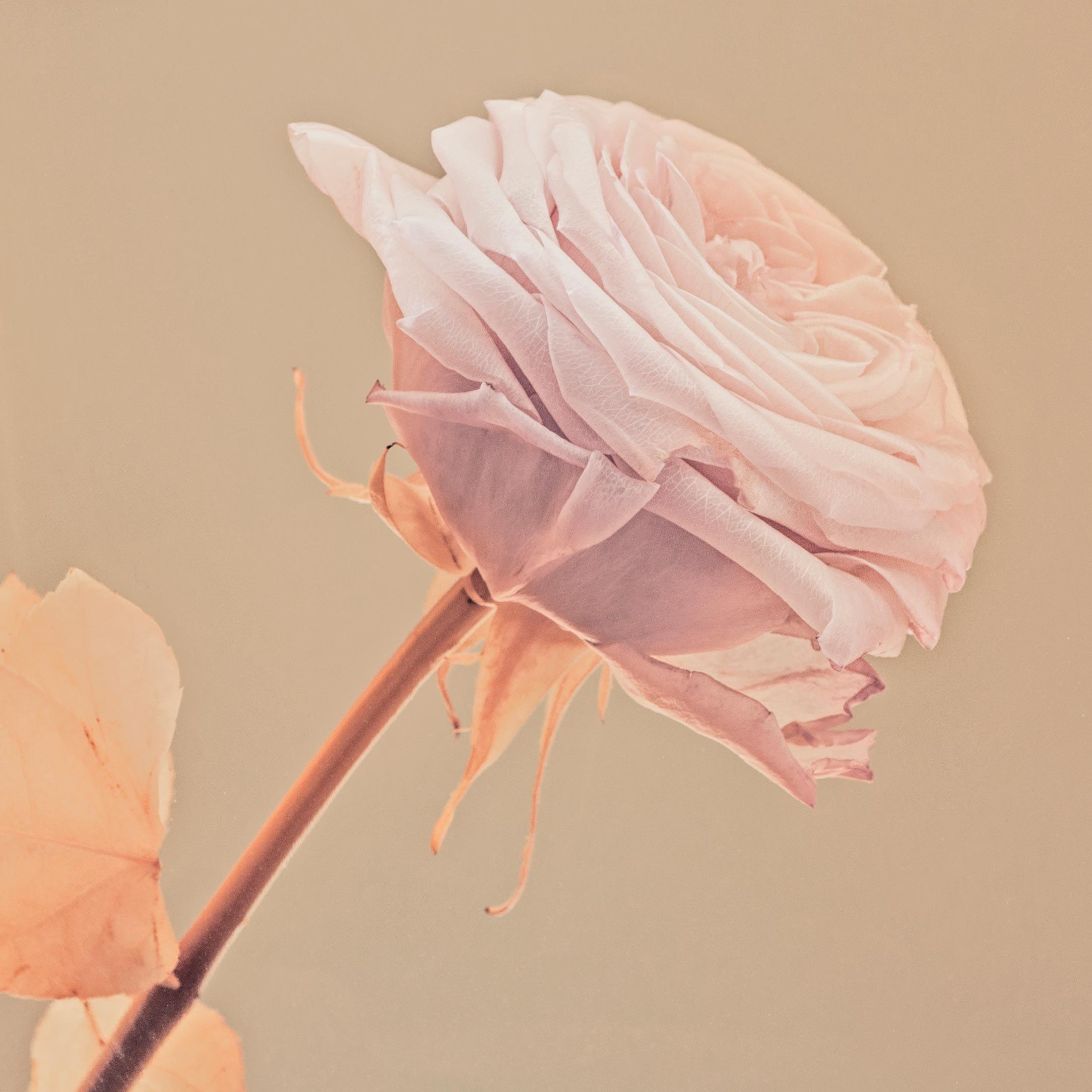 photographie d'une rose avec tons pastels