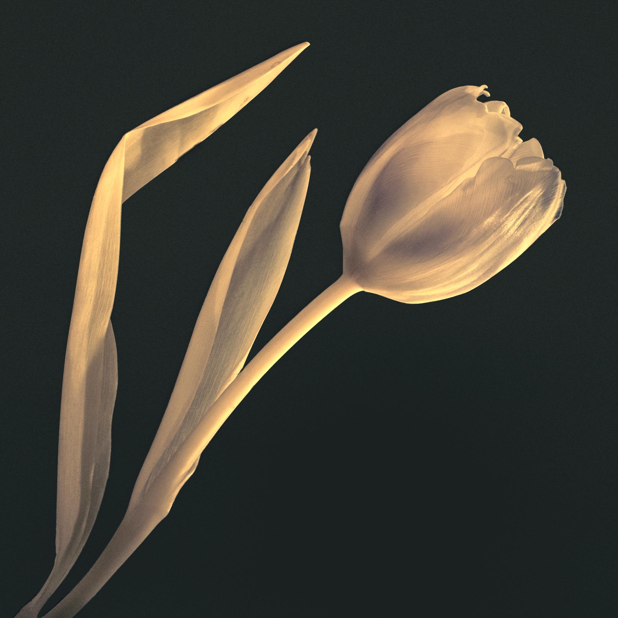 photographie d'une tulipe